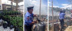 Fotolajm: Policia e shtetit në aksion për djegien e drogës.  Në total gjatë gjithë 5 ditëve të zhvillimit të operacionit në Lazarat janë asgjësuar mbi 81.300 rrënjë bimë narkotike dhe fidanë, si dhe një sasi mbi 23 ton e 404 kg kanabis sativa.