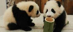 #clever #pandas