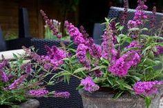 Butterfly Bush, Google Search, Plants, Flora, Plant, Buddleja Davidii