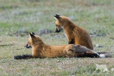 Fox Cubs by Mario Nonaka on 500px