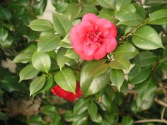 April Tryst cold hardy camellia Shade Shrubs, Soil Ph, Organic Matter, Perennials, Roots, Landscaping, Cold, Spring, Garden