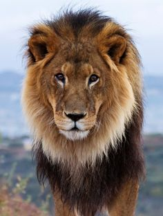 African Male Lion - by Cheryl Nestico