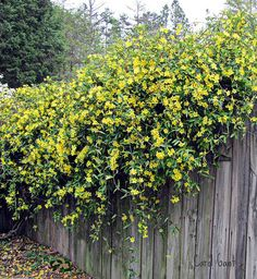 Carolina Jessamine on Gray Fence by snow41, via Flickr    Carolina jessamine (Gelsemium sempervirens) is one of the most beautiful vines of the South. It covers fences and trees in open woodlands and along roadsides throughout the Southeast with its slender vines and bright yellow flowers. It is the state flower of South Carolina