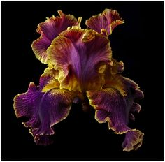 A Tall Bearded Iris is the name of this gorgeous flower! Richard Reynolds captures nothing but the beauty and deep natural colors of flowers! Exotic Plants, Exotic Flowers, Amazing Flowers, Beautiful Flowers, Iris Garden, Garden Plants, Iris Flowers, Planting Flowers, Bearded Iris