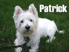 MISSING White Staffy Dog Hervey Bay QLD 4655