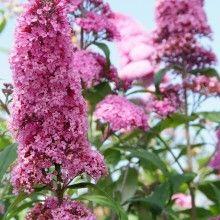 Buddleja davidii 'Pink Delight' (Vlinderstruik) C6,5