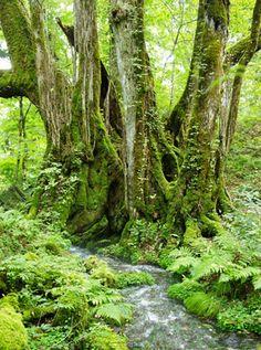 cercidiphyllum japonicum - カツラ - très vieil arbre