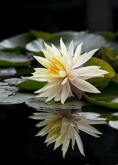 Nymphaea Maria and Reflection By Tim Gainey Exotic Flowers, Tropical Flowers, Beautiful Flowers, Nymphaea Lotus, Lotus Flower Pictures, Rare Orchids, Aquatic Plants, Flower Petals, Pretty Pictures