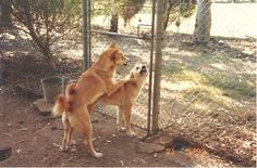 Dingo Lady: Berenice explains 'play fighting' between litter s...