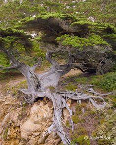 Cryptomeria trees old - Google Search
