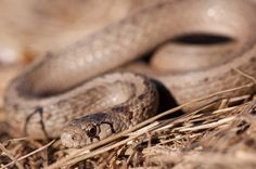 DeKays Brown Snake - Storeria dekayi, commonly known as the brown snake or De Kays snake, is a small species of colubrid snake.