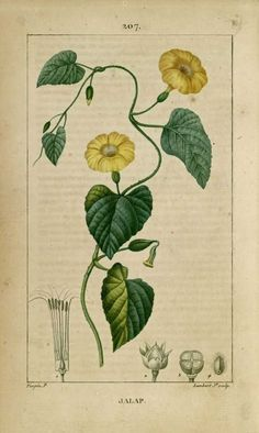 img/dessins-gravures de plantes medicinales/jalap.jpg