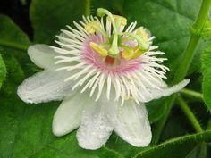 Prevenzione Donna: La Passiflora...il fiore della tranquillità !