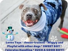 American Staffordshire Terrier Mix 4yr.old male Dog for adoption at Rescue Dogs Rock,  New York, New York - Johnny Cash