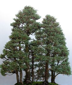 Bonsai Redwood Grove at The Chicago Botanic Garden   |   Bonsai Versions of the World's Tallest Tree (California Redwood)