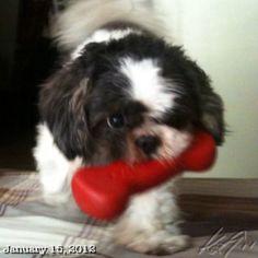 おもちゃ投げて遊び中〜 #shihtzu #dog #playing #philippines