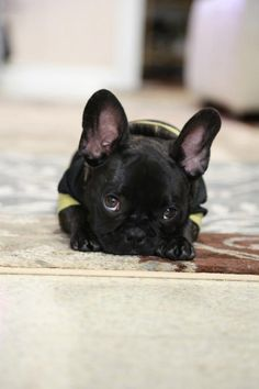 """Don't forget about me!!"" this is my reminder of what I'm saving my money for!! Dying to be a frenchie owner!"