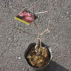 植物_1-ch184658 | 写真共有 - gooブログ「フォトチャンネル」 070317ハナミズキをもらう046_1