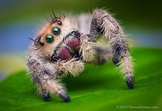 Oh! Hello! Looks like a jumping spider, my new cute thing