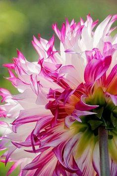 White & Deep Pink