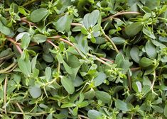 Purslane: Health Benefits and Recipes Purslane is a weed, but it has great health benefits. Harvest the purslane plants in your garden and use them in recipes! Purslane Benefits, Purslane Plant, Purslane Recipe, Common Garden Weeds, Free Garden Planner, Medicinal Weeds, Natural Remedies For Insomnia, Portulaca Oleracea, Gardens