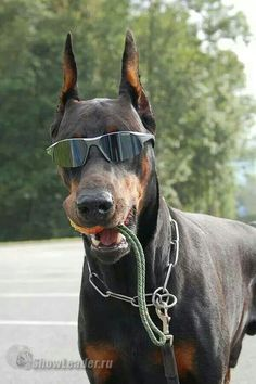 Cool Doberman