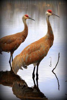 Sand Hill Cranes. Andrea Jaeger Miehls Photography