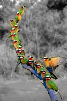 White fronted bee eaters make use of a perch above their colony on Mashatu Game Reserve in Botswana. 19 in 1 by Mike Dexter, via Pretty Birds, Beautiful Birds, Animals Beautiful, Cute Animals, Beautiful Pictures, Kinds Of Birds, All Birds, Love Birds, Exotic Birds