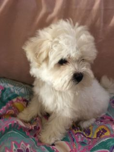 Lovely Maltese x shih tzu female puppy She is 8 weeks old and has a lovely nature, she is very goo
