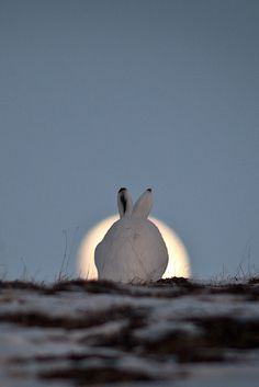 alpenstrasse:  Moon hare by Ivan Kislov via 500px.  Hahhaahaa, you won't get this chance again!