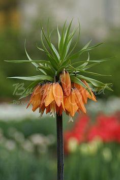 Fritillaria imperialis - Aurora