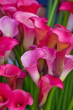 Oh, how I love calla lilies!                                                                                                                                                                                 Mais