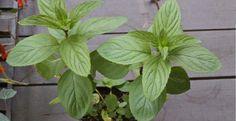 Si vous avez cette plante dans votre maison, vous verrez moins d'araignées et d'insectes! - Trucs et Astuces - Trucs et Bricolages