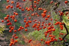 Tawarayama Onsen kaki (persimmon) fruit
