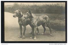 old postcard of great danes Dane Dog, Dog Cat, Dog Photos, Dog Pictures, Art Antique, Dog Games, Puppy Mills, Old Dogs, Big Dogs