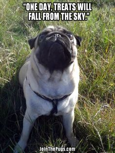 It's so sweet and warm - Page 14 of 18 - Pug Meme, funny cute pugs Funny Dogs, Funny Animals, Cute Animals, Cute Pug Pictures, Animal Humour, Cute Pugs, Pug Love, Cool Pets, Dog Cat
