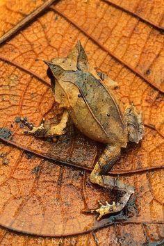 Long-nosed horned frog camouflaged in leaf litter, Megophrys nasuta, Sabah, Borneo: