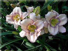 Lanny Morry Hybrid Lily