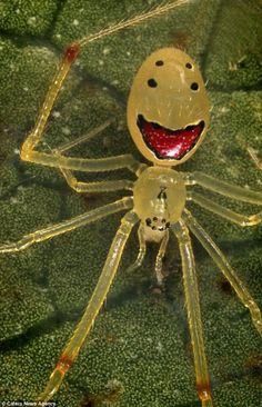 The Happy-Face spider is found in the rainforests of the Hawaiian islands. The tiny arachnid is just a few millimetres big and said to be harmless to humans Mirror Spider, Spiders And Snakes, Large Spiders, Cool Bugs, Itsy Bitsy Spider, Jumping Spider, Beautiful Bugs, Bugs And Insects, Mundo Animal