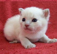Tonkinese kitten Tonkinese Kittens, Jelly Beans, Siamese, Softies, Adorable Animals, Creatures, Pets, Red Dates, Stuffed Animals