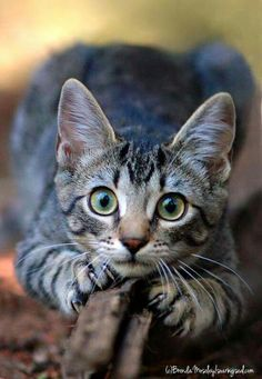 It's common to talk about tabbies as if they represent a cat breed. In fact, the word tabby denotes a coat pattern. Excellent What It Means to Be a Tabby Cat Ideas. Baby Animals, Funny Animals, Cute Animals, Funniest Animals, Funny Horses, Pretty Cats, Beautiful Cats, Kittens Cutest, Cats And Kittens