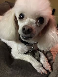 Thank you Zellet for sharing with The Poodle Patch Community...  and your little Layla looks quite innocent and very cute...