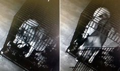 Who let the dogs out? Clever Husky stages 'prison break'