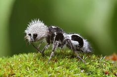 God Unique Creation : Panda Ant due to their hair coloration