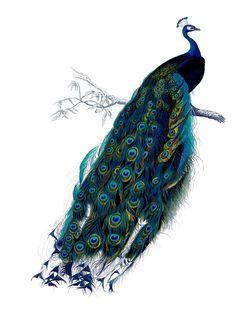 peacock vintage print