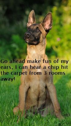 Love their ears! #Belgian #Malinois                                                                                                                                                      More