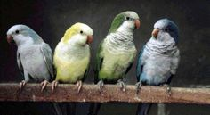 The Quaker Parrot (also known as the Monk parrot) - I've been looking into these and they are becoming a very convincing candidate for my future parrot-buddy. Aren't they all so adorable :) [classistatic.com]