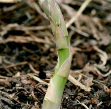 Asparagus is one of the earliest crops to be harvested in the spring.