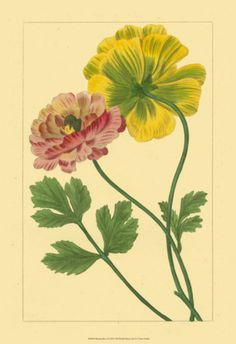 """1926 Vintage WILD FLOWER /""""SNEEZEWEED/"""" GORGEOUS COLOR Art Print Lithograph"""