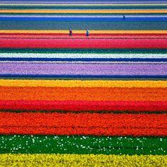 schönsten reiseziele, tulpenfelder in holland